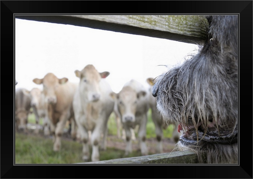 dog watching cows through fence black framed