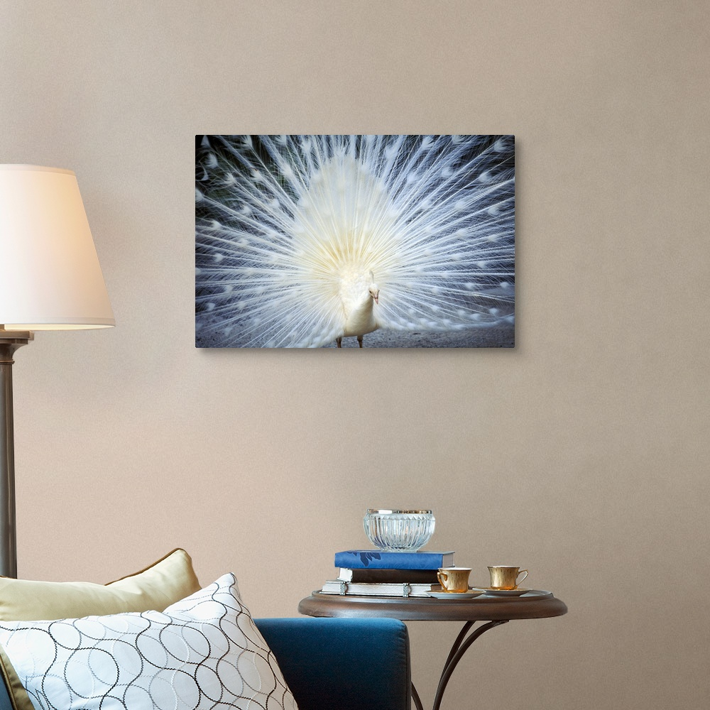 close up of white peacock with feathers wide spread canvas. Black Bedroom Furniture Sets. Home Design Ideas